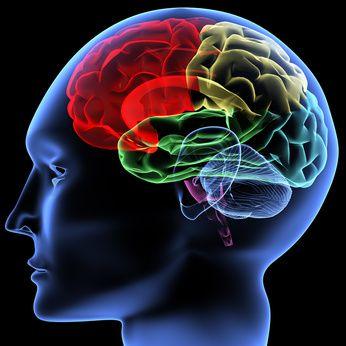 人間の脳のイラスト