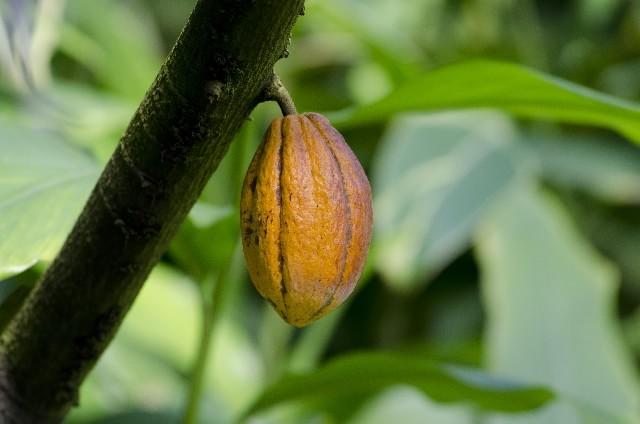 cacao02-min