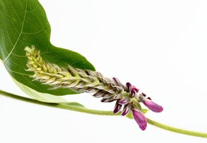 葛の花のダイエット効果は?【お腹周りや内臓脂肪対策に!】